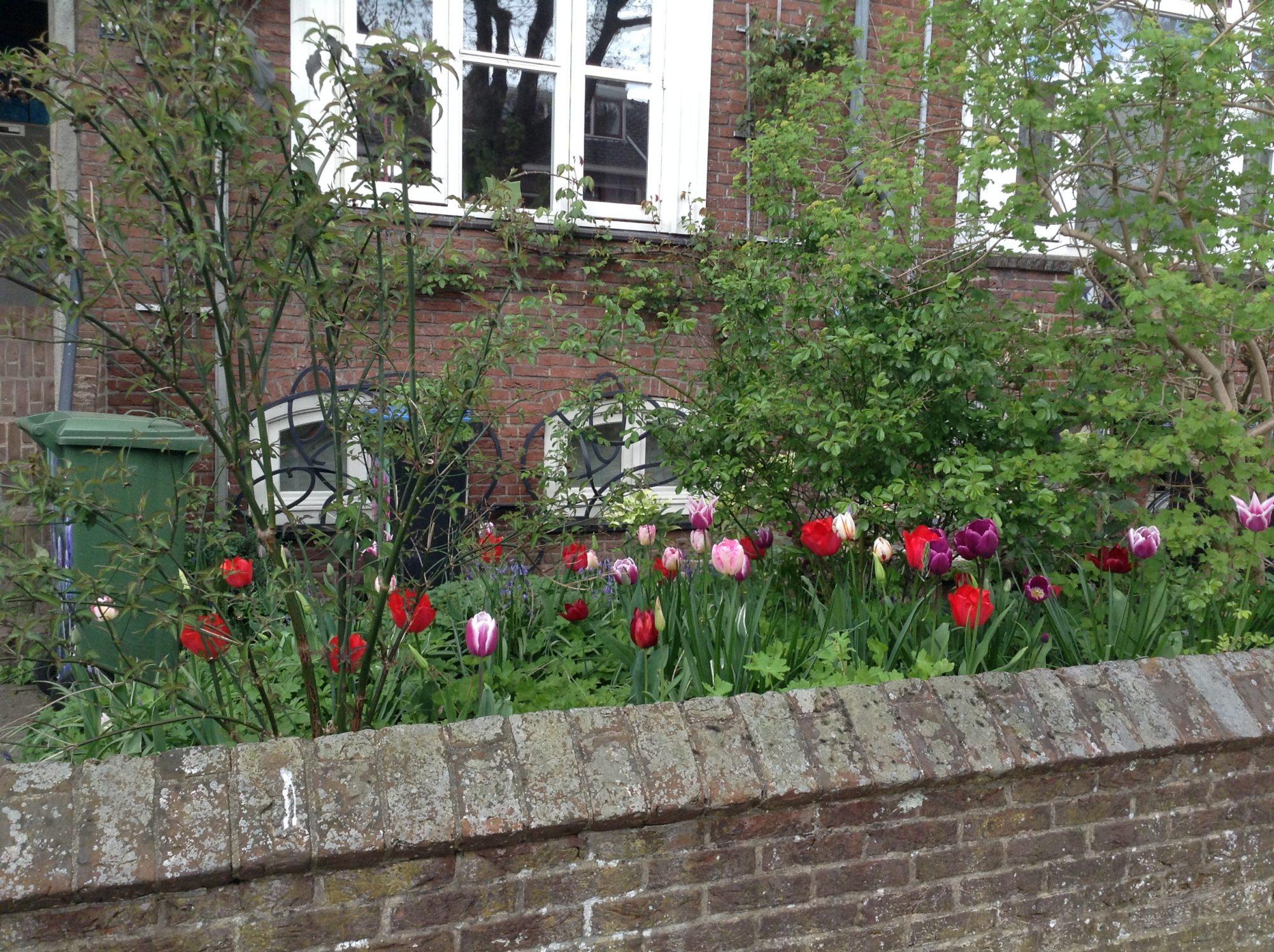 De eerste lente na het planten bloeien je tulpenbollenuitbundig. Maar daarna wordt het (zeker op zandgrond) snel minder. Nog jaren komt erin het voorjaareen bosje groene sprieten uit de grond, maar een tulp wordt het niet meer. Wat kun je doen om langer plezier te hebben van je bollen? Zet ze op de warmste plek…